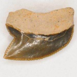 Crow Shark Cretaceous (Squalicorax kaupi) Posterior tooth, New Jersey