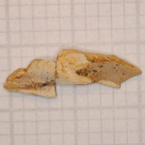Ratfish (Ischyodus bifurcatus) Mandibular Mouth Plate fossil, New Jersey