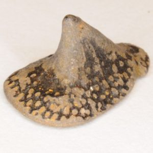 Cow-Nosed Ray (Rhombodus laevis) Dermal Denticle, Cretaceous, New Jersey 1